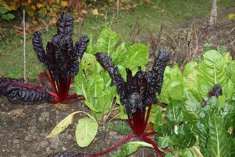 Fin de saison au jardin quoi de neuf au potager - Bettes au jardin ...