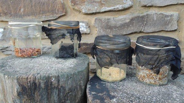 claytone de cuba graines