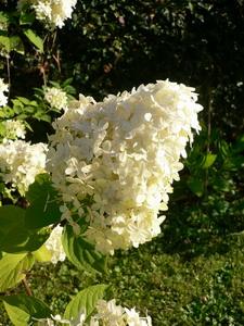 Floraisons et r coltes ao t 2007 quoi de neuf au potager - Quand faut il couper les fleurs fanees des hortensias ...