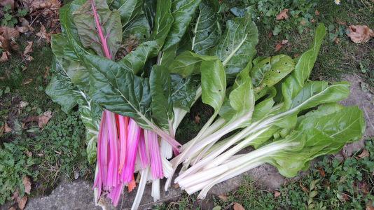 Recettes novembre 2012 quoi de neuf au potager - Bettes au jardin ...