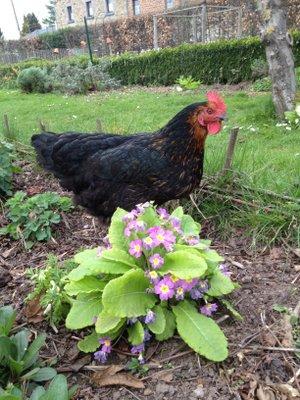 des poules en libert au jardin une utopie quoi de neuf au potager. Black Bedroom Furniture Sets. Home Design Ideas