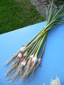 Floraisons et r coltes mai 2008 quoi de neuf au potager - Recolte de l ail ...