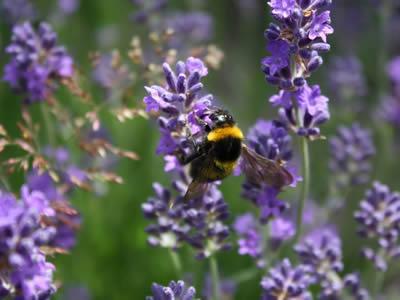 http://www.monpotager.net/images/fleurs/lavande2.jpg